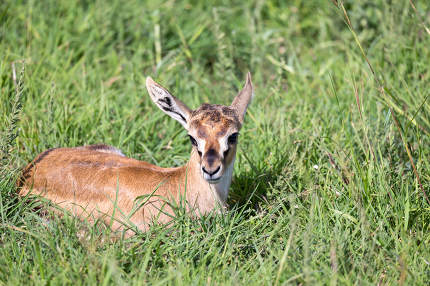 A newborn Thomson Gazelle lies in the grass