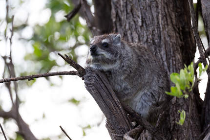 A rock badger sits on the branch of a tree