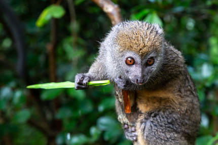 A small lemur on a branch eats on a blade of grass