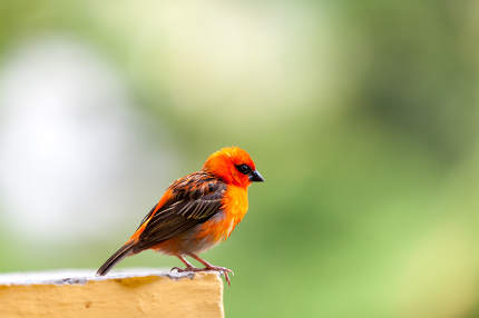 A small red local bird on the Seychelles