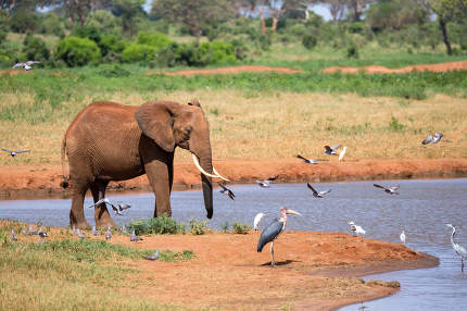 A waterhole in the savannah with some red elephants