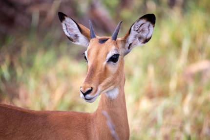 Antelope is standing between the plants in the savannah