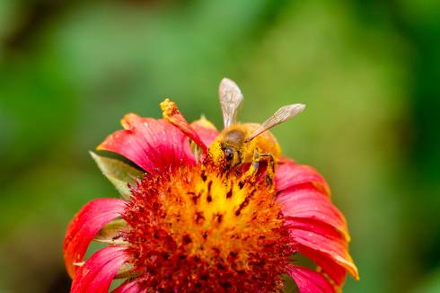 Bee and Gerbera