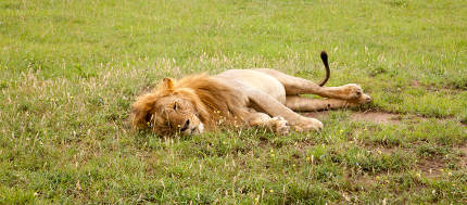 Big lion resting in the grass in the meadow