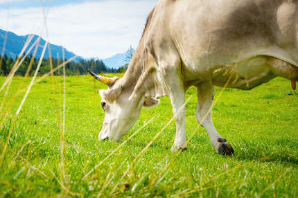 bright cow at the bavarian meadow