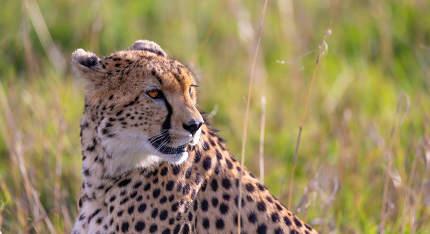 Close up of a cheetah between the grass