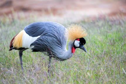 Colorful bird in the savannah of Kenya