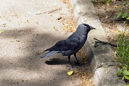 Crow near walkway photo. Profile of calm raven on pathway. Wildl