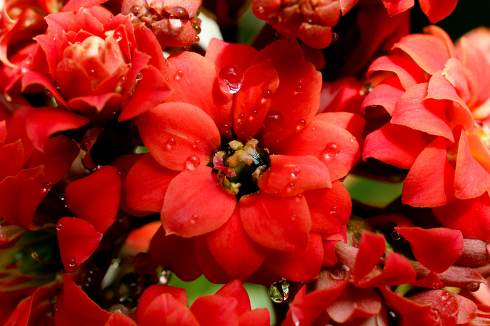 Drops in the red kalanchoe flowers