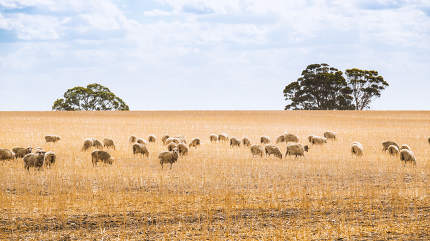 Flock of sheep in South Australia