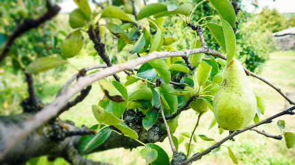 green pear on a tree