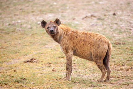 Hyena is watching, on safari in Kenya