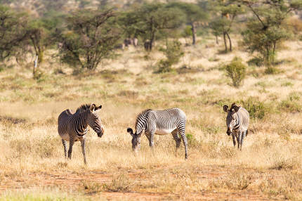 Large herd with zebras grazing in the savannah of Kenya