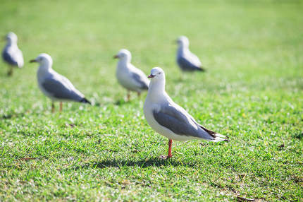 Sea gull at the beach misson bay new zealand
