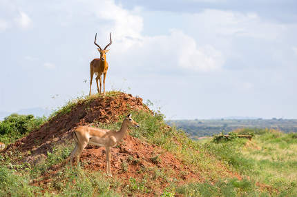 One antelope is standing on a hill , Kenya