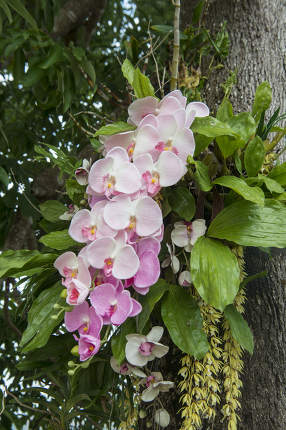 Orchid Flowers in the city of Chiang Rai in North Thailand