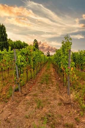 Row of leafy green trellised vines at sunset