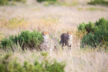 Some cheetahs are running in the savannah in the tall grass