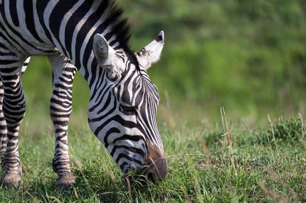 The closeup of a zebra in a national park