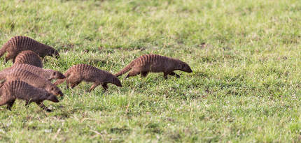 The large horde of mongooses runs through the Kenyan savanna
