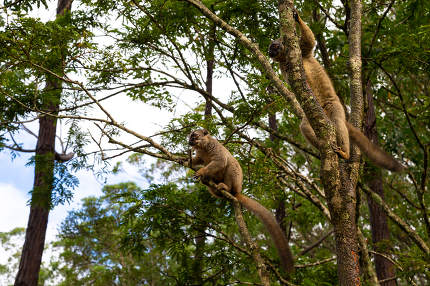 The Lemurs in a rain forest on the trees, hopping from tree to tree
