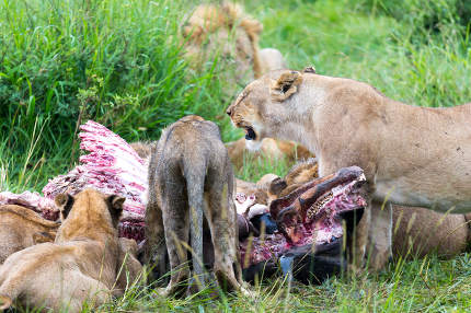 The lion family is eating a buffalo between tall grass