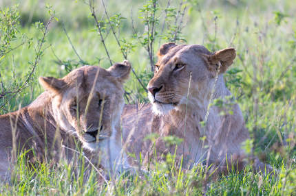 The Lionesses lie in the grass and try to rest