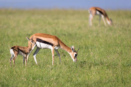 The Thomson gazelles in the middle of a grassy landscape in the Kenyan savanna