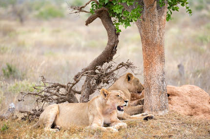 Two lions rest in the shade of a tree