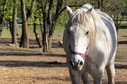 White horse looking at camera. Alone bred horse on pasture. Stal