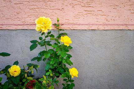 yellow roses bush at a wall