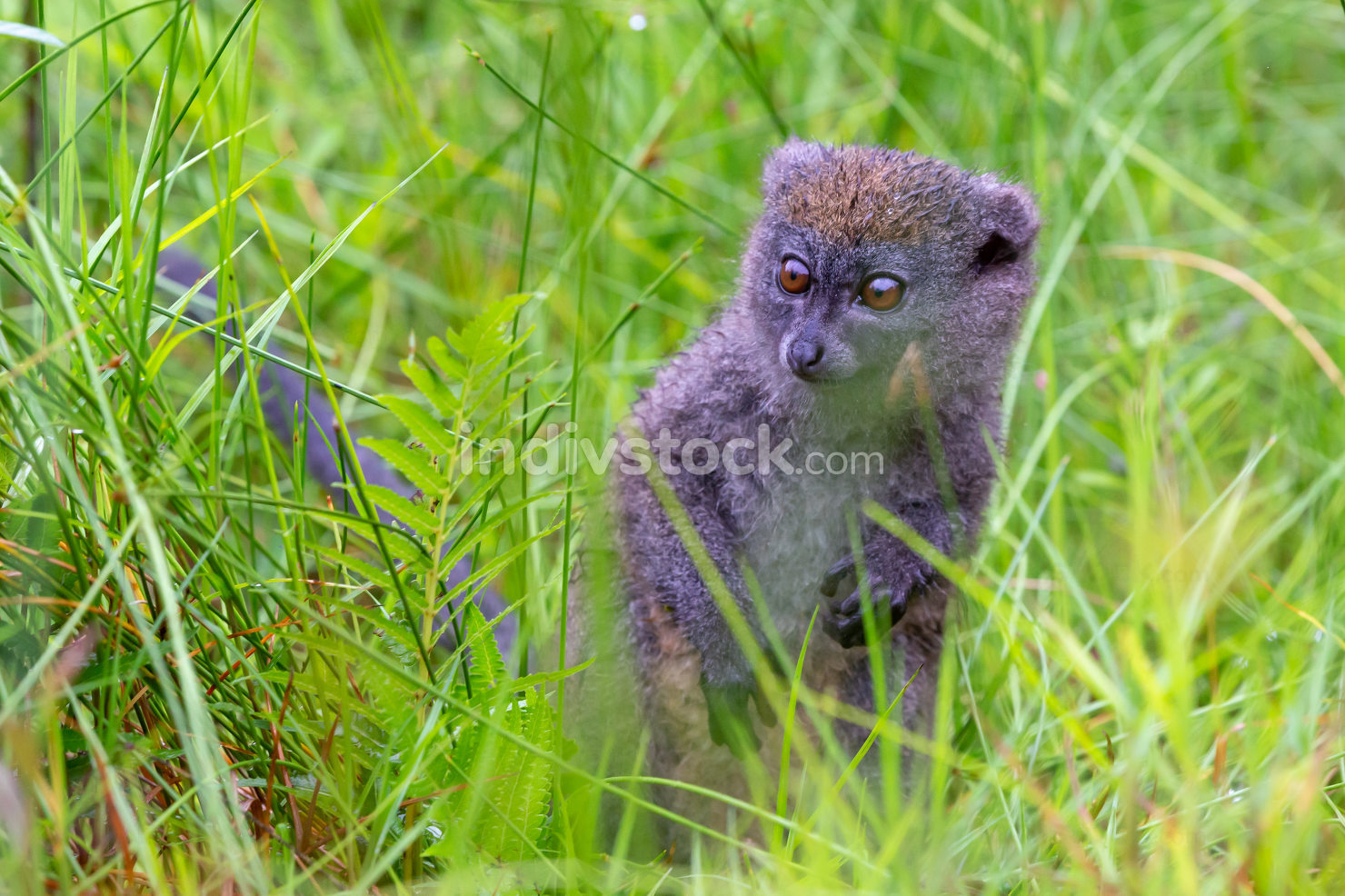 A bamboo lemur between the tall grass looks curious