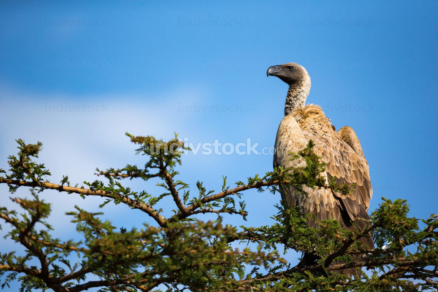 A big bird of prey sits on a branch