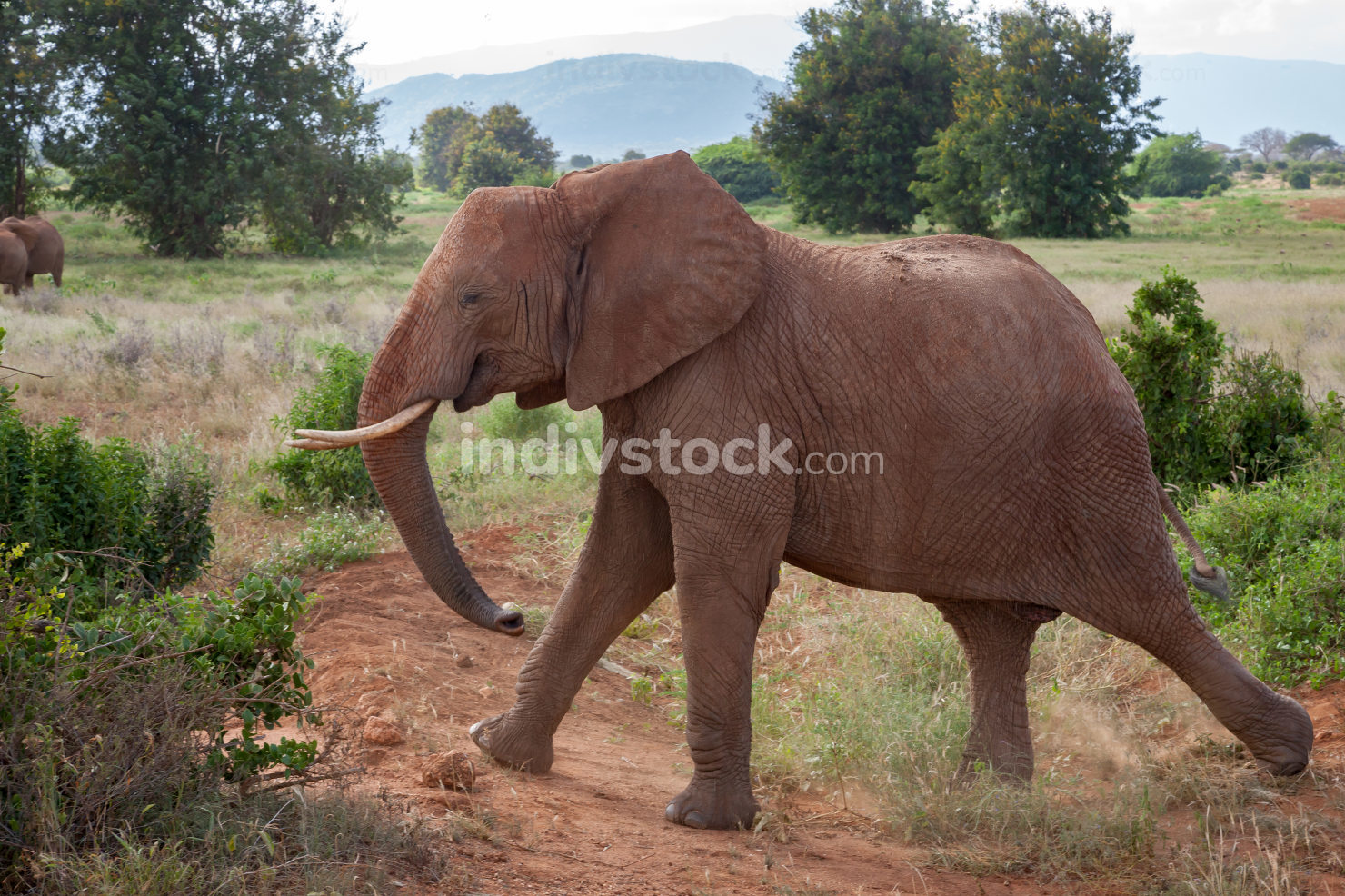 A big elephant is walking in the savannah