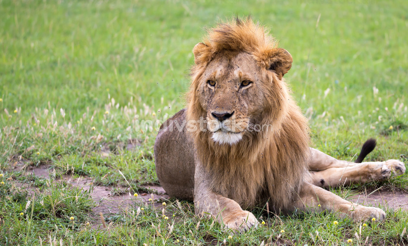 A big lion lies in the grass in the savanna of Kenya