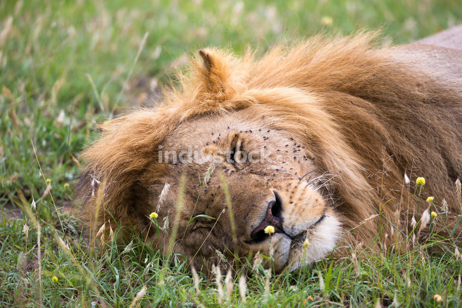 A big lion sleeps in the grass of the Kenyan savannah