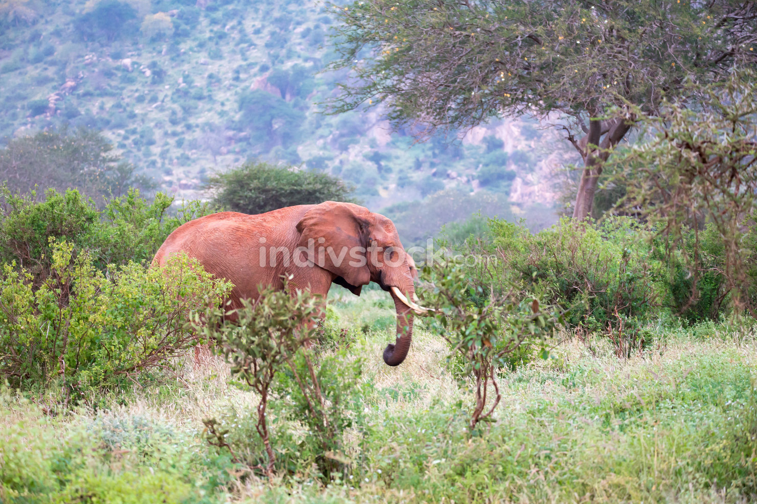 A big red elephant standing between the bush, Kenya Africa