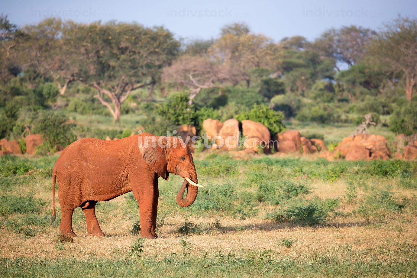A big red elephant walks through the savannah between many plant