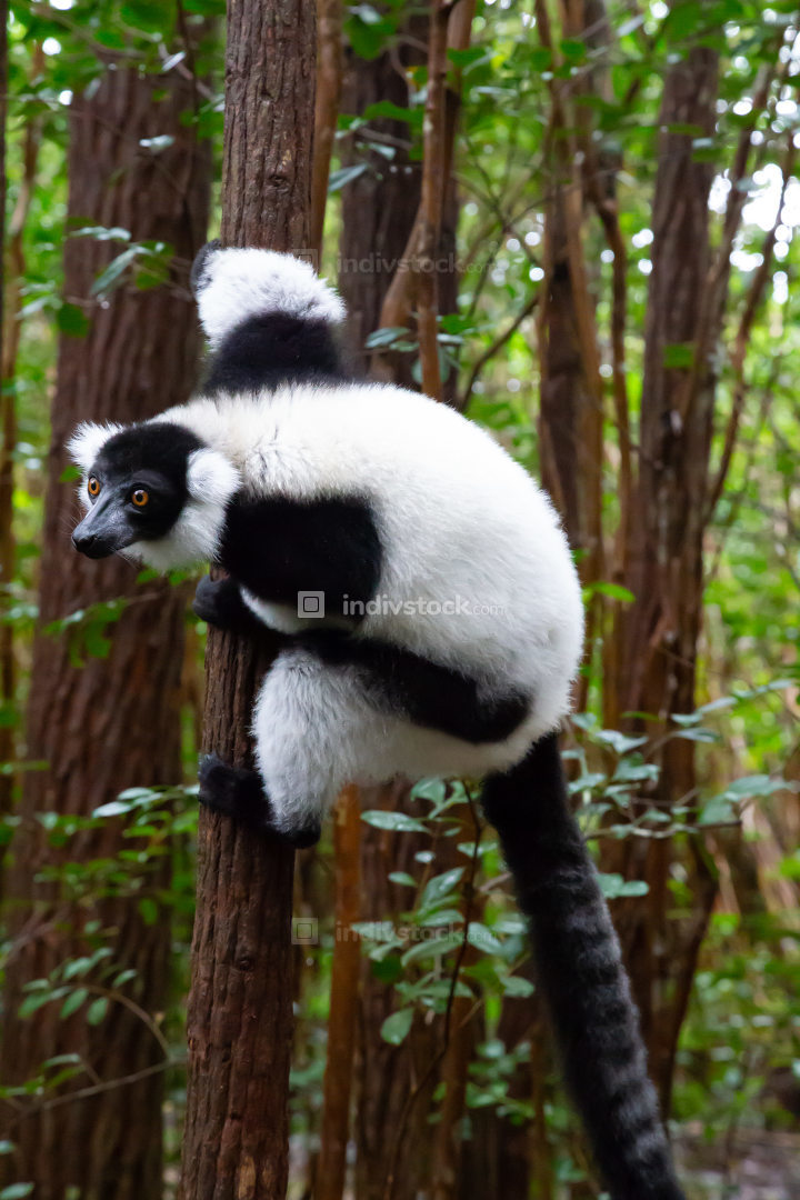 A black and white lemur sits on the branch of a tree