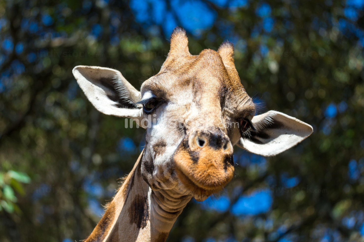 A close-up of a giraffe