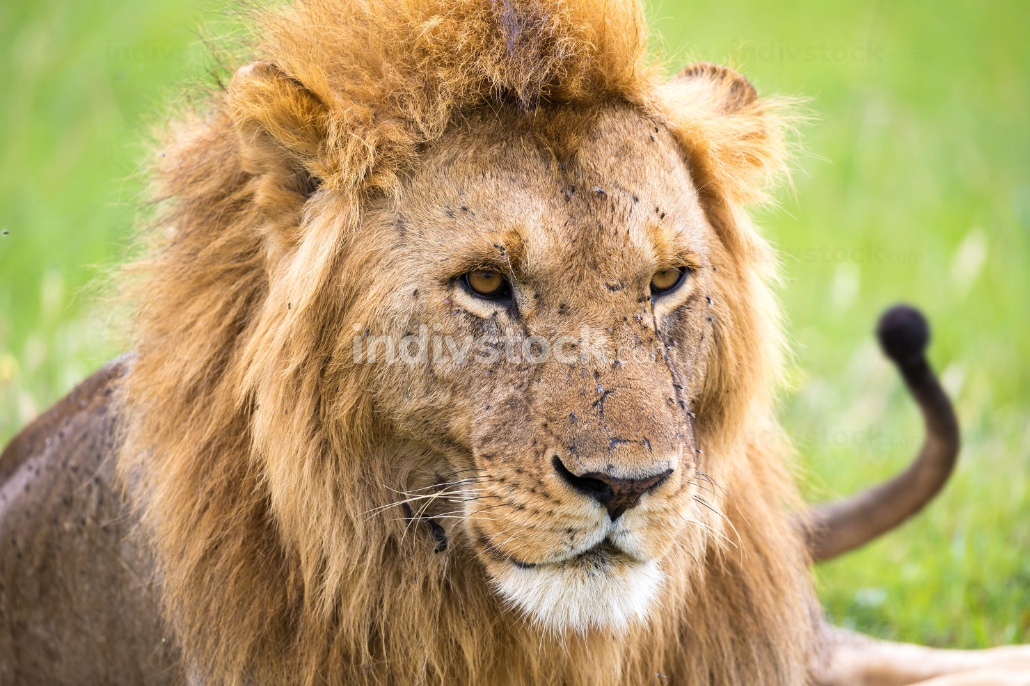 A close-up of the face of a lion in the savannah of Kenya