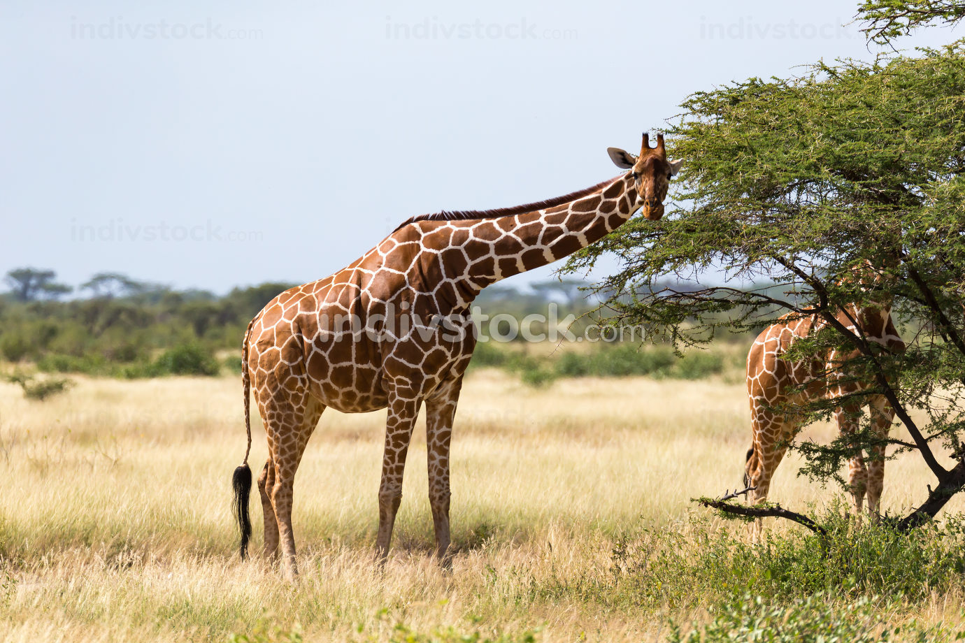 A giraffe group eats the leaves of the acacia trees