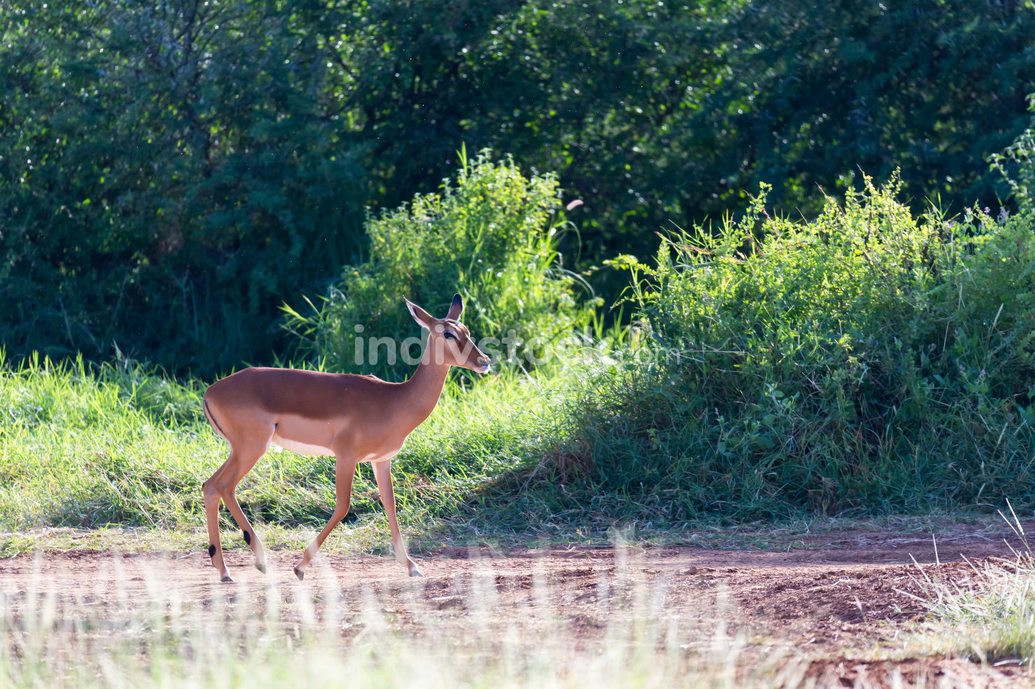 A Grant Gazelle stands in the middle of the grassy landscape of