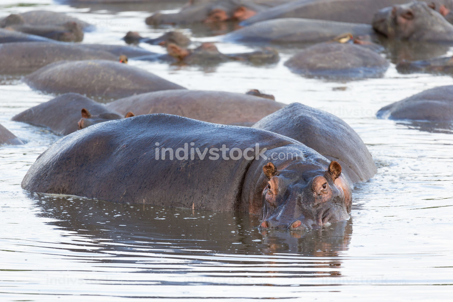 A hippopotamus sits in the water of a lake