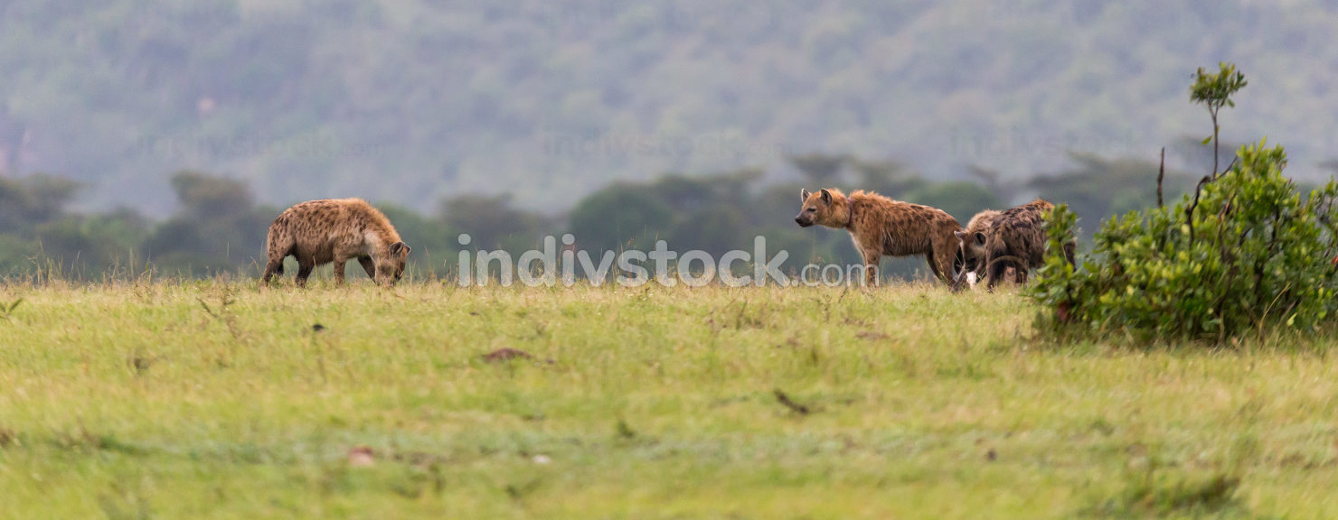 A hyena family hides in the tall grass