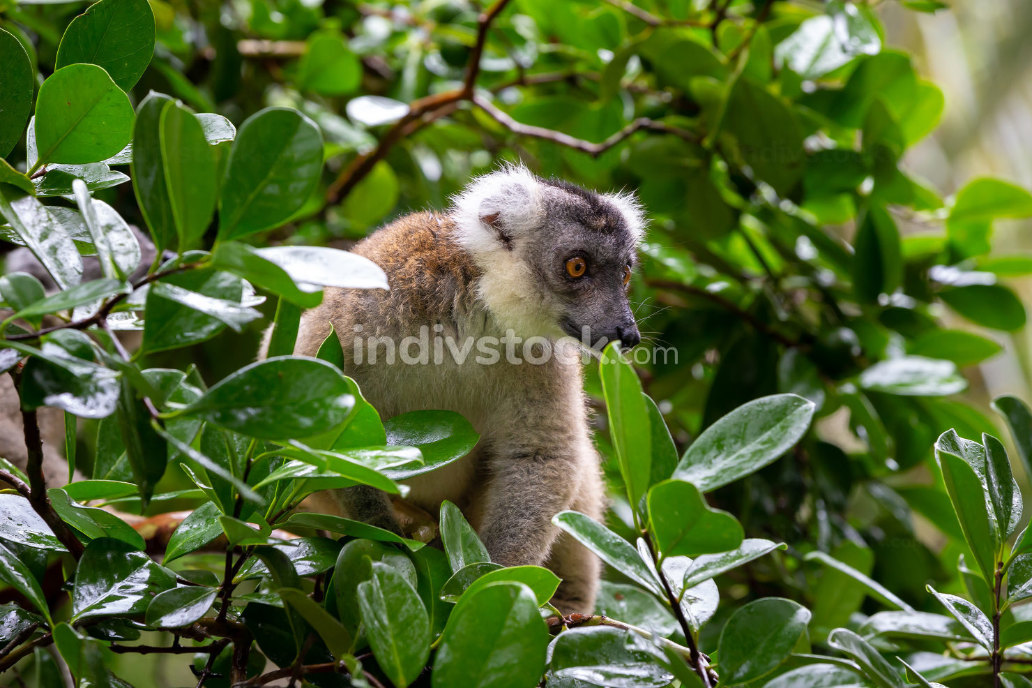A lemur on a tree, between the foliage in a rainforest in Madaga