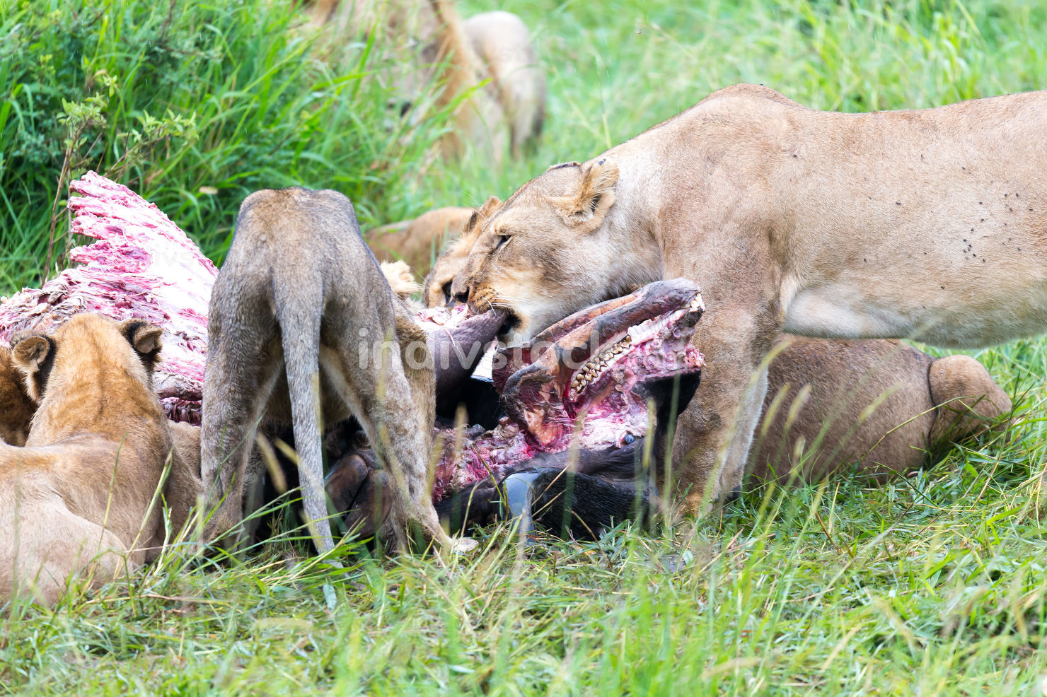 A lion family is eating a buffalo between tall grass