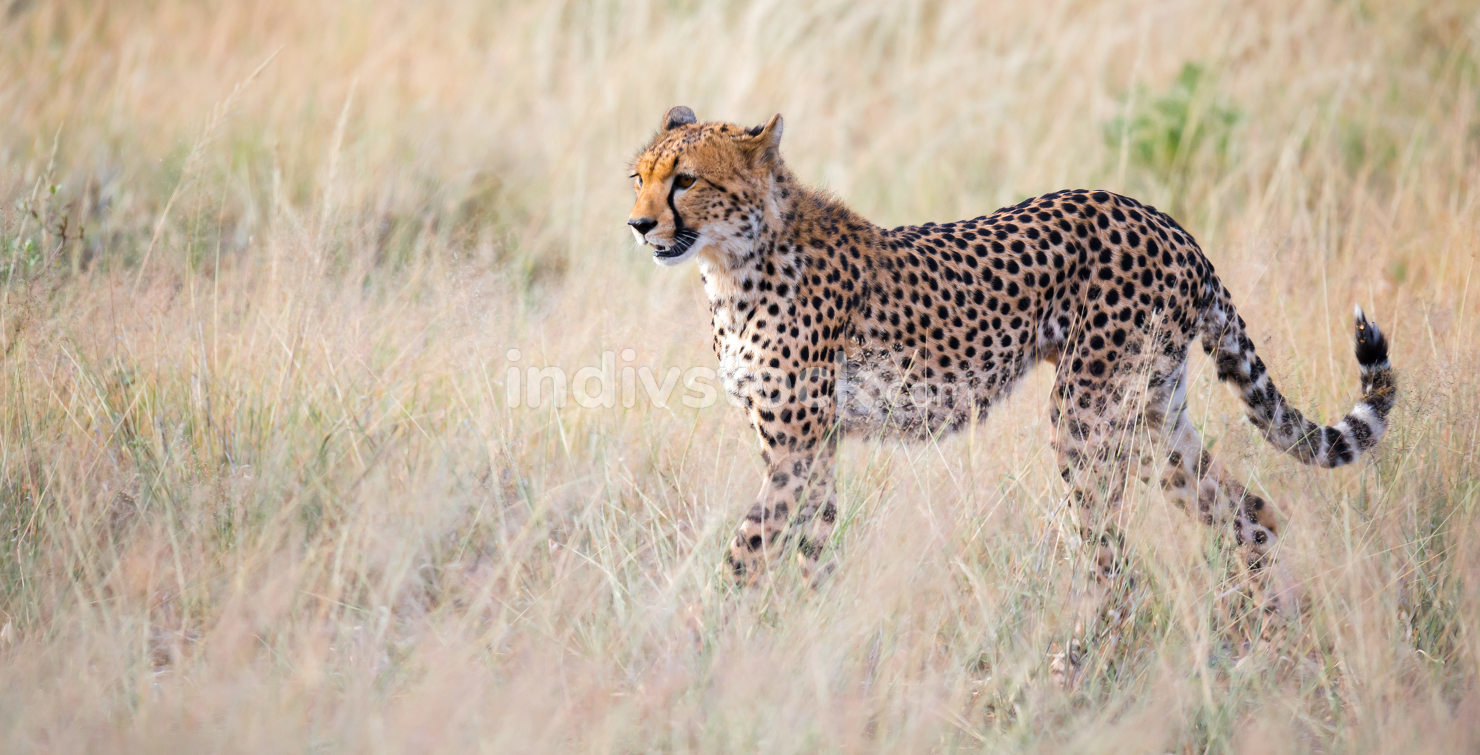 A portrait of a cheetah in the grass landscape