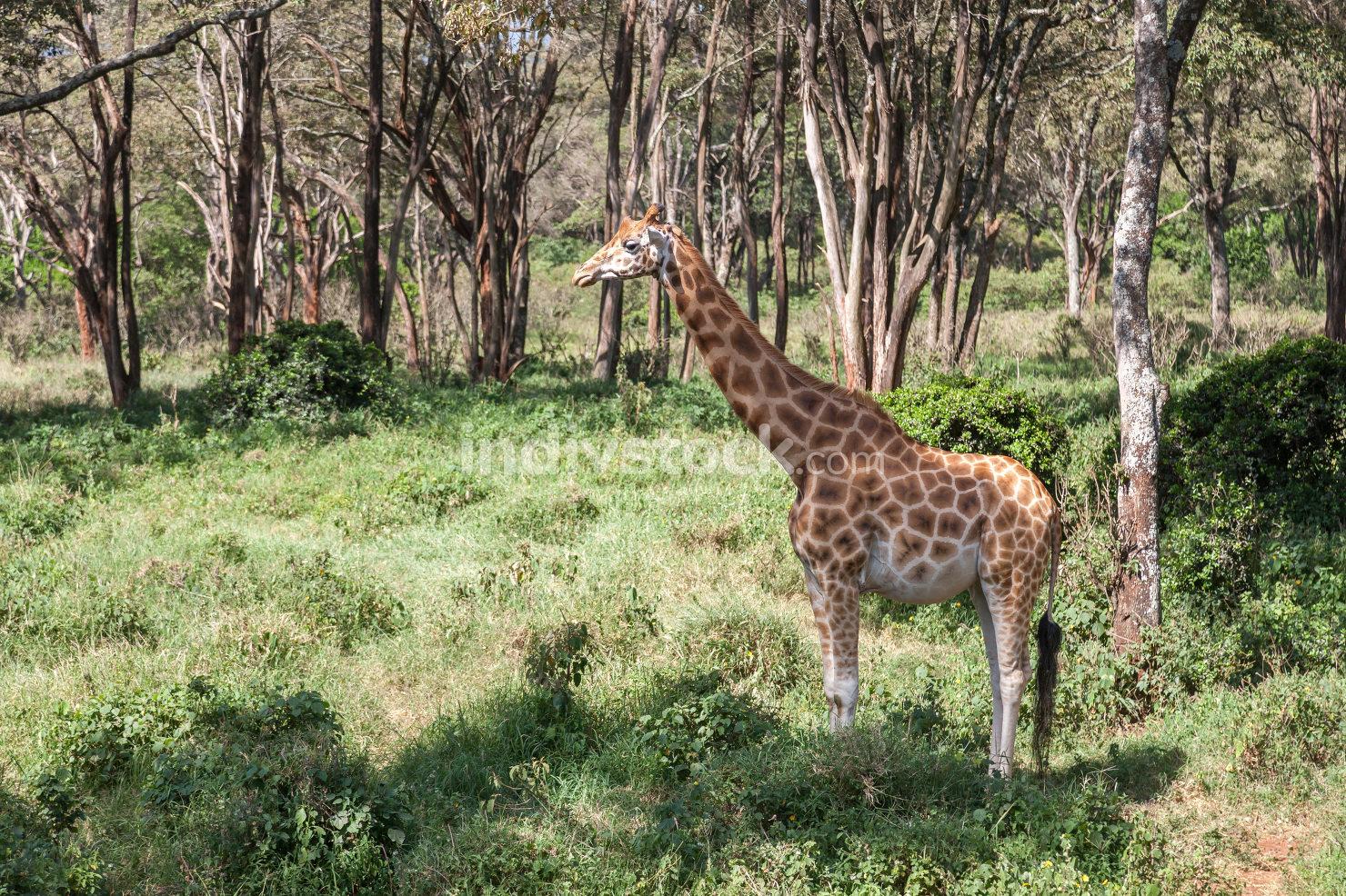 A pregnant giraffe stands in the bushes