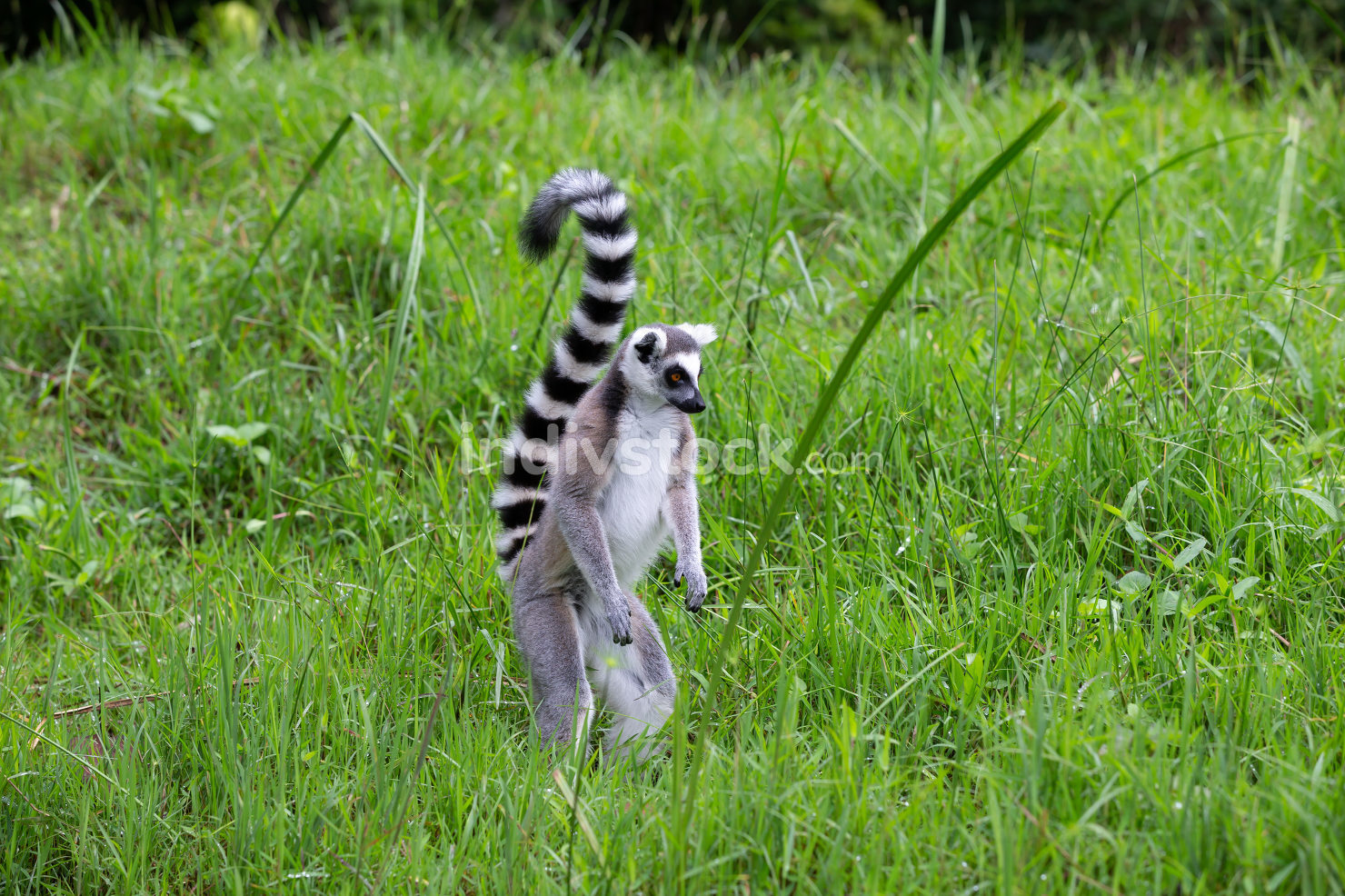 A ring-tailed lemur in the rainforest on the island of Madagasca